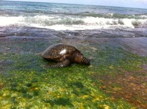 Turtle on Oahu!