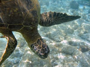 Love the Honu!