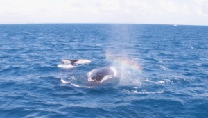 whales approaching