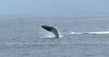whale breeching!